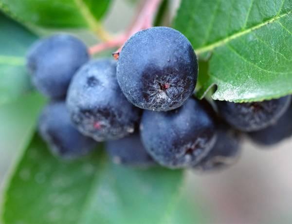 Aronia Bitkisi Nedir? Aronia Meyvesinin Faydaları Nelerdir?